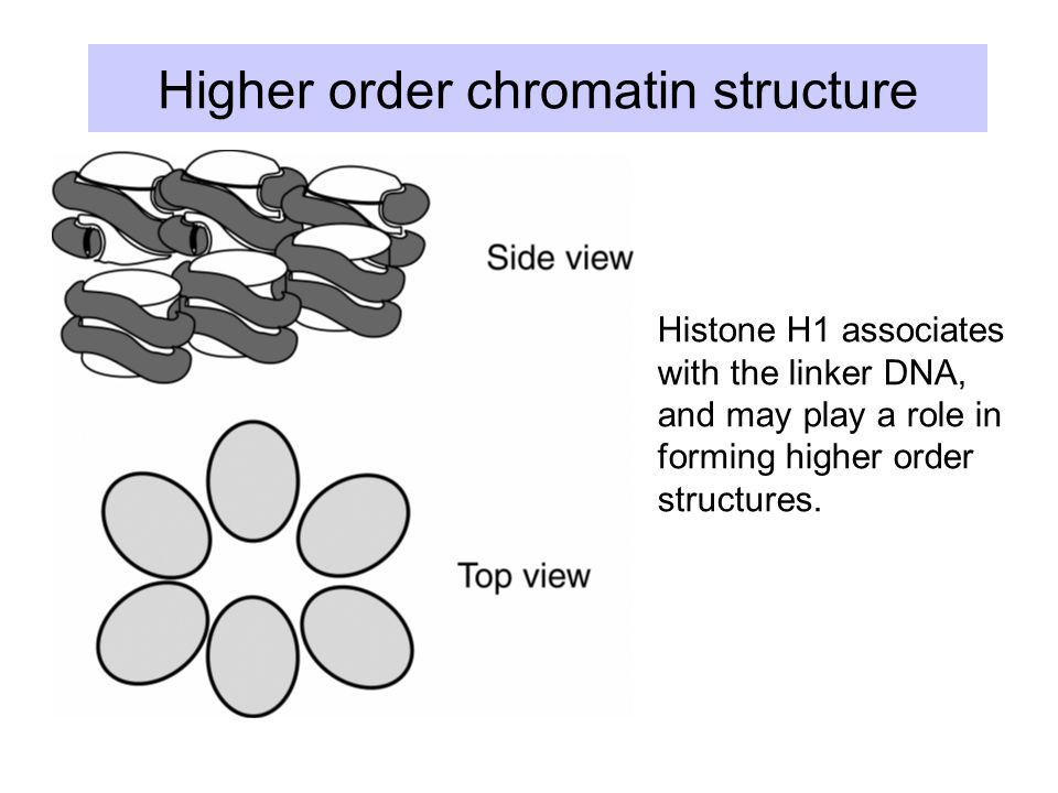 Higher order chromatin structure Histone H1 associates with the linker DNA, and may play a role in forming higher order structures.