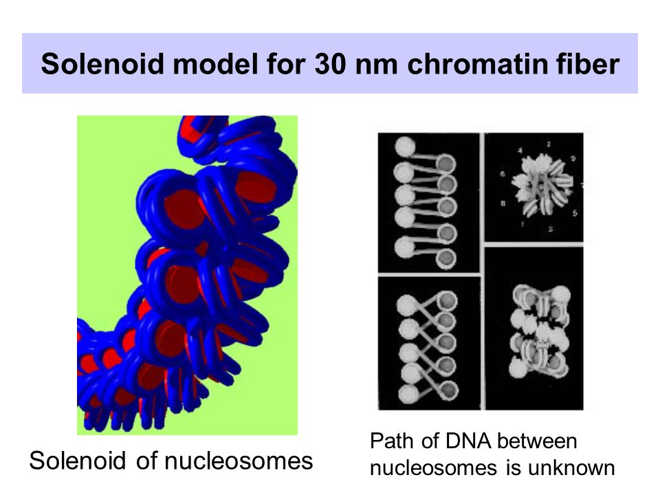 Solenoid model for 30 nm chromatin fiber Solenoid of nucleosomes Path of DNA between nucleosomes is unknown