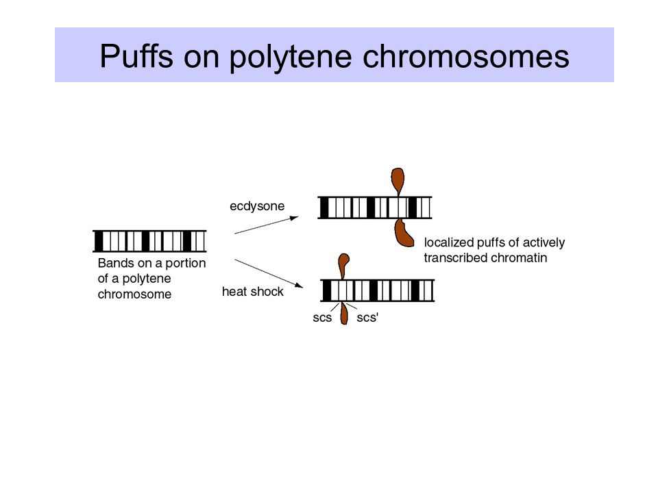 Puffs on polytene chromosomes