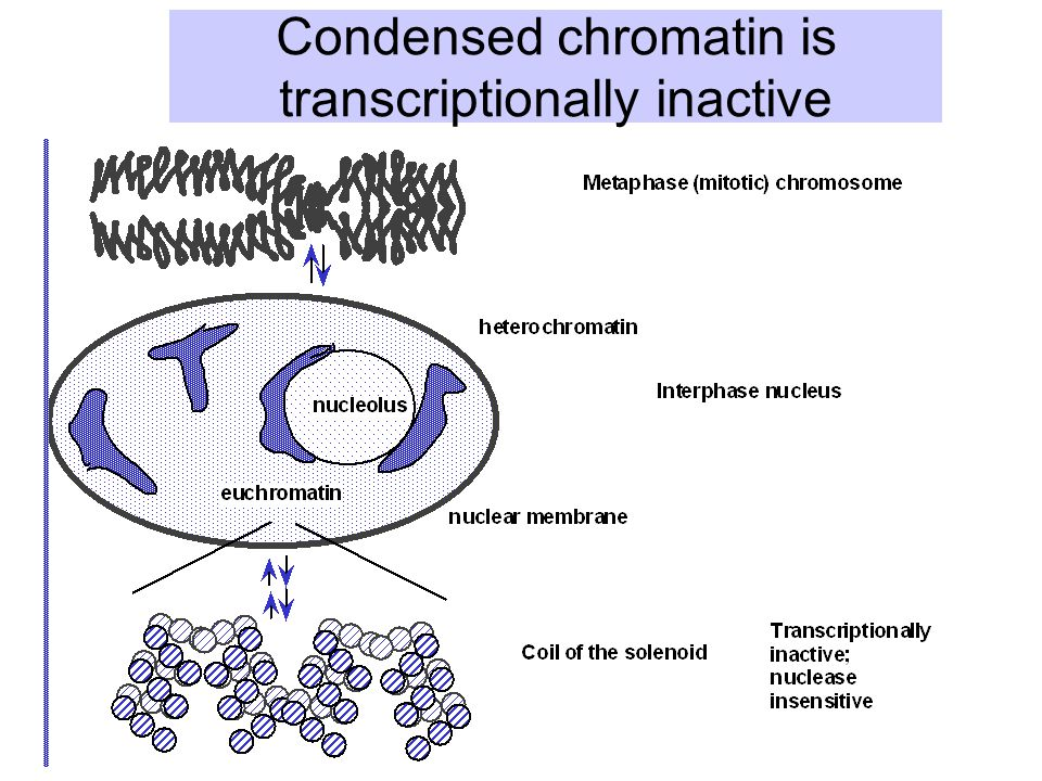Condensed chromatin is transcriptionally inactive