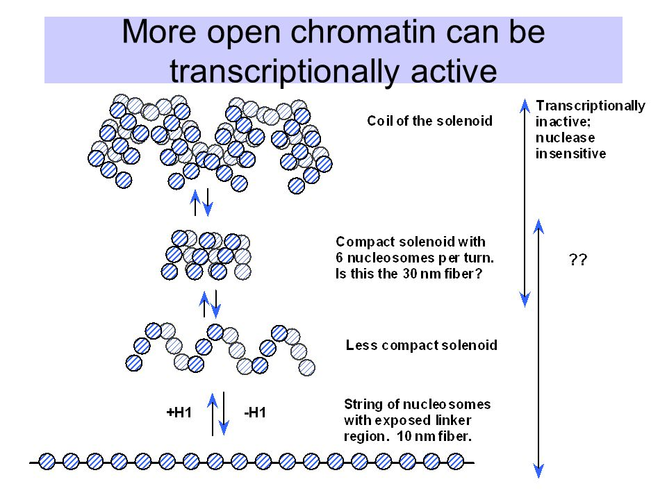 More open chromatin can be transcriptionally active