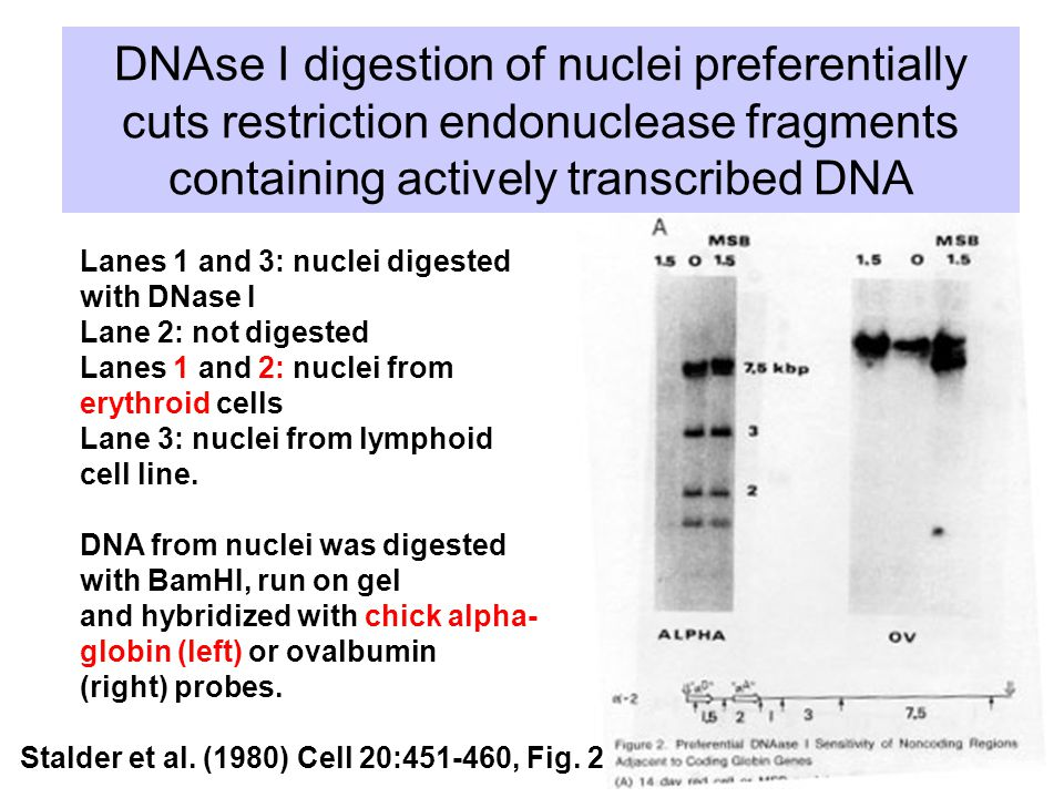 DNAse I digestion of nuclei preferentially cuts restriction endonuclease fragments containing actively transcribed DNA Stalder et al.