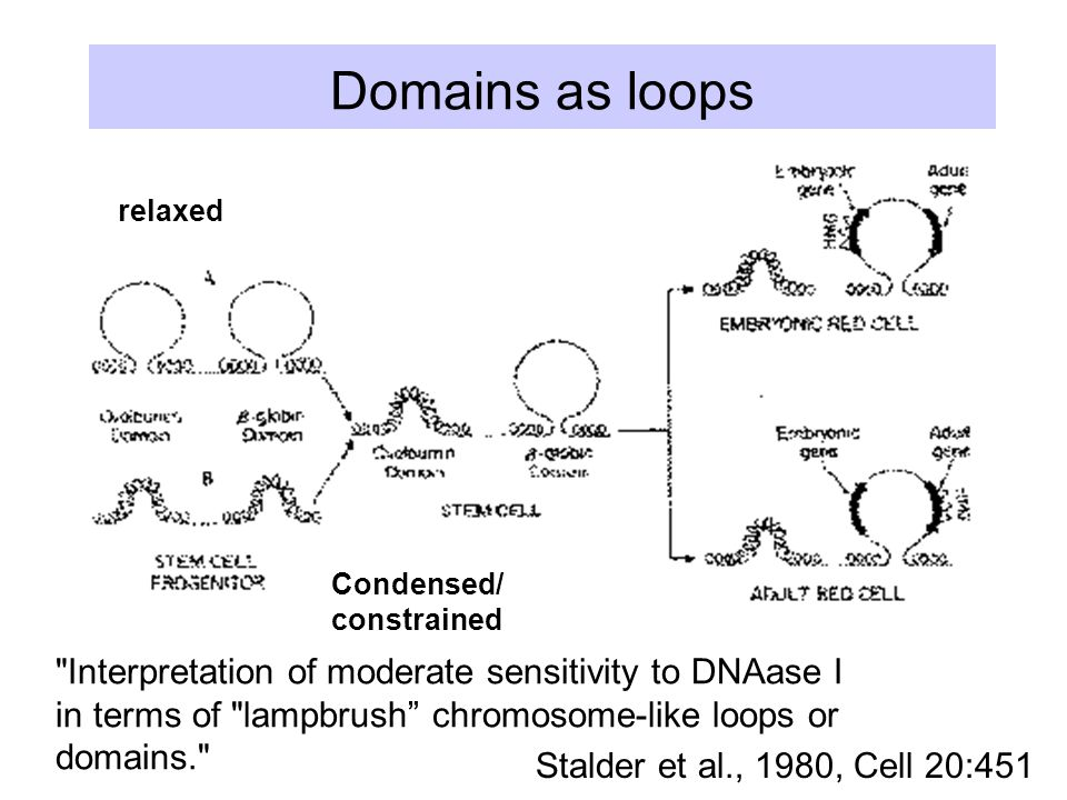 Domains as loops Stalder et al., 1980, Cell 20:451 Interpretation of moderate sensitivity to DNAase I in terms of lampbrush chromosome-like loops or domains. relaxed Condensed/ constrained