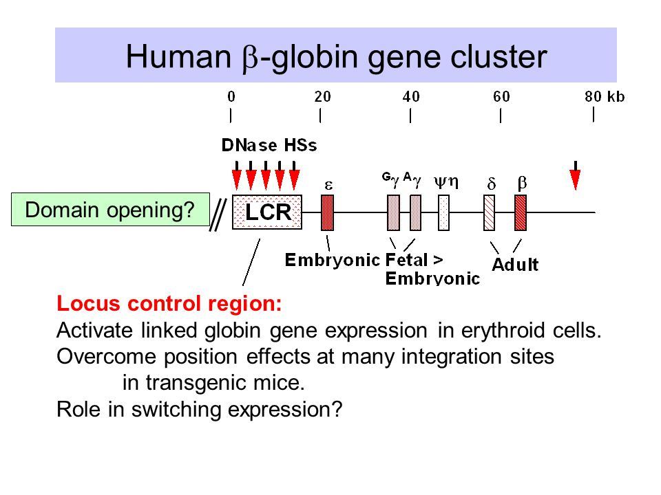 Human  -globin gene cluster Domain opening? Locus control region: Activate linked globin gene expression in erythroid cells. Overcome position effect
