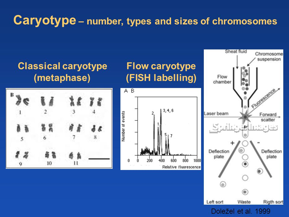 Caryotype – number, types and sizes of chromosomes Flow caryotype (FISH labelling) Doležel et al. 1999 Classical caryotype (metaphase)