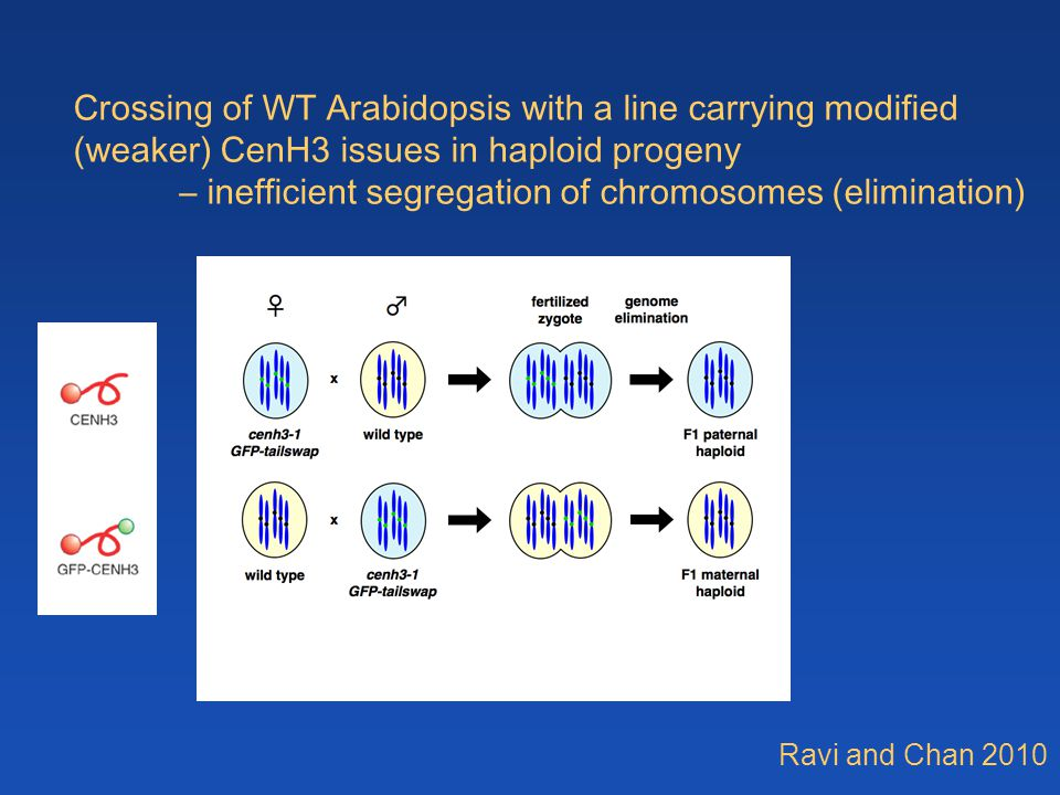 Crossing of WT Arabidopsis with a line carrying modified (weaker) CenH3 issues in haploid progeny – inefficient segregation of chromosomes (eliminatio