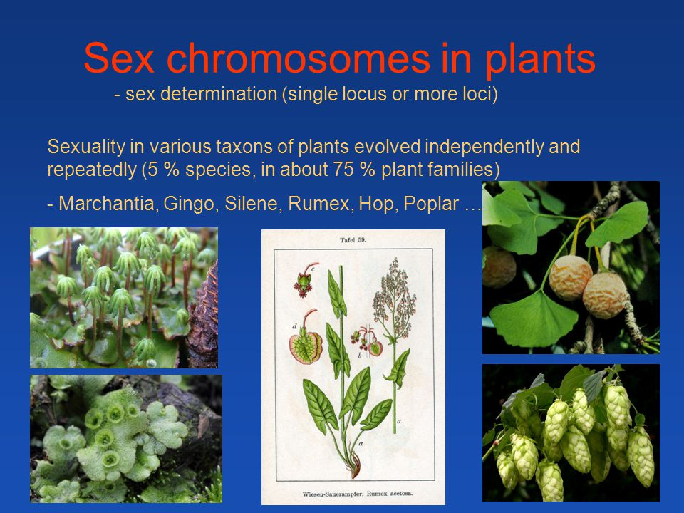 Sex chromosomes in plants Sexuality in various taxons of plants evolved independently and repeatedly (5 % species, in about 75 % plant families) - Mar