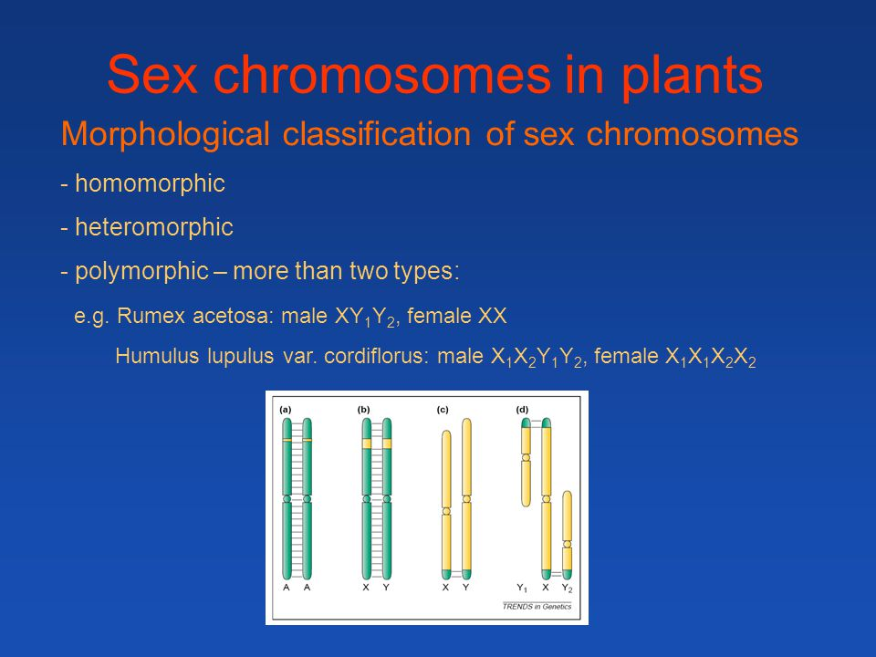 Sex chromosomes in plants Morphological classification of sex chromosomes - homomorphic - heteromorphic - polymorphic – more than two types: e.g. Rume