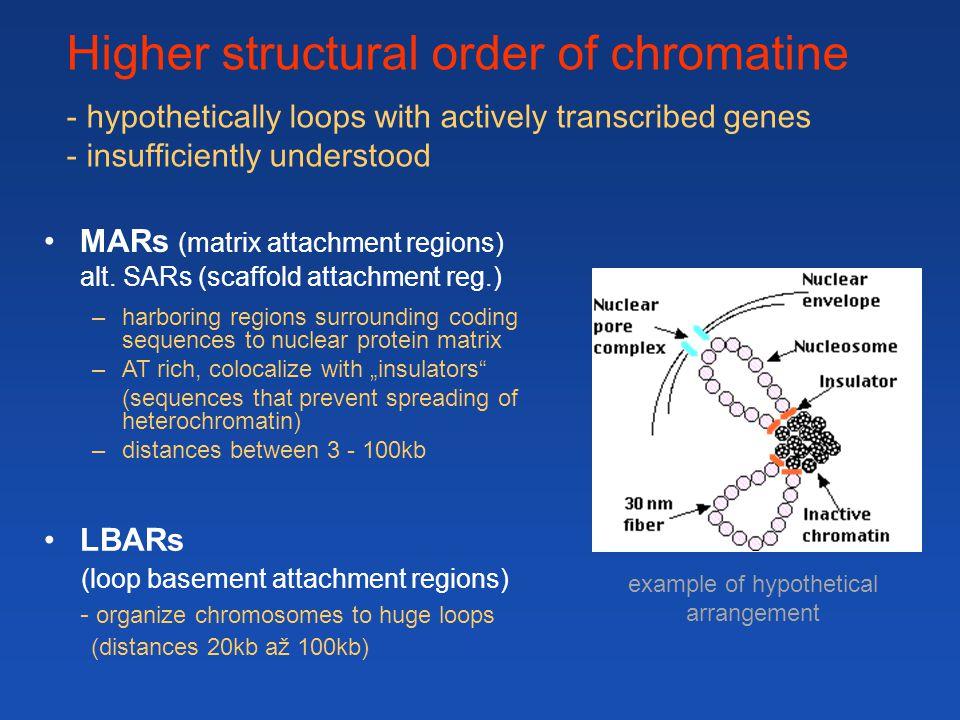 LBARs (loop basement attachment regions) - organize chromosomes to huge loops (distances 20kb až 100kb) MARs (matrix attachment regions) alt.