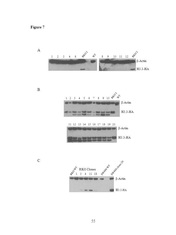 55 Figure 7 B 12346 RKO 2 578910 WT β-Actin H3.3-HA 13141516171819201112 β-Actin H3.3-HA A RKO 2 12346 WT 89101112 β-Actin H3.3-HA C β-Actin H 3.3-HA RKO WT 1341118 SW480 WT SW480 clone 20 RKO Clones