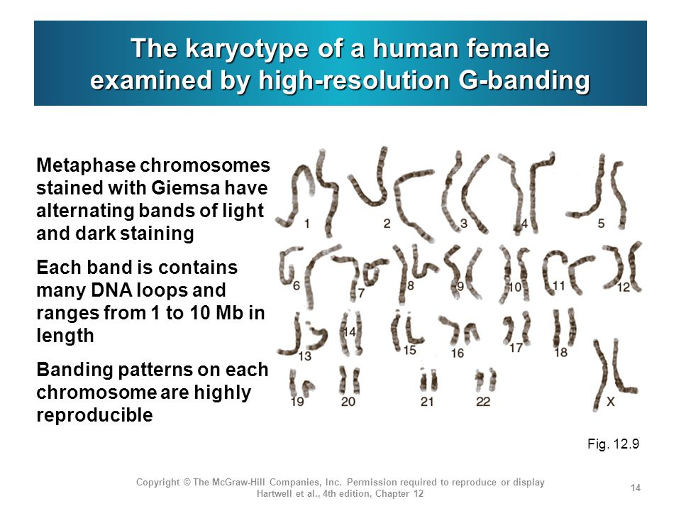 The karyotype of a human female examined by high-resolution G-banding Copyright © The McGraw-Hill Companies, Inc. Permission required to reproduce or