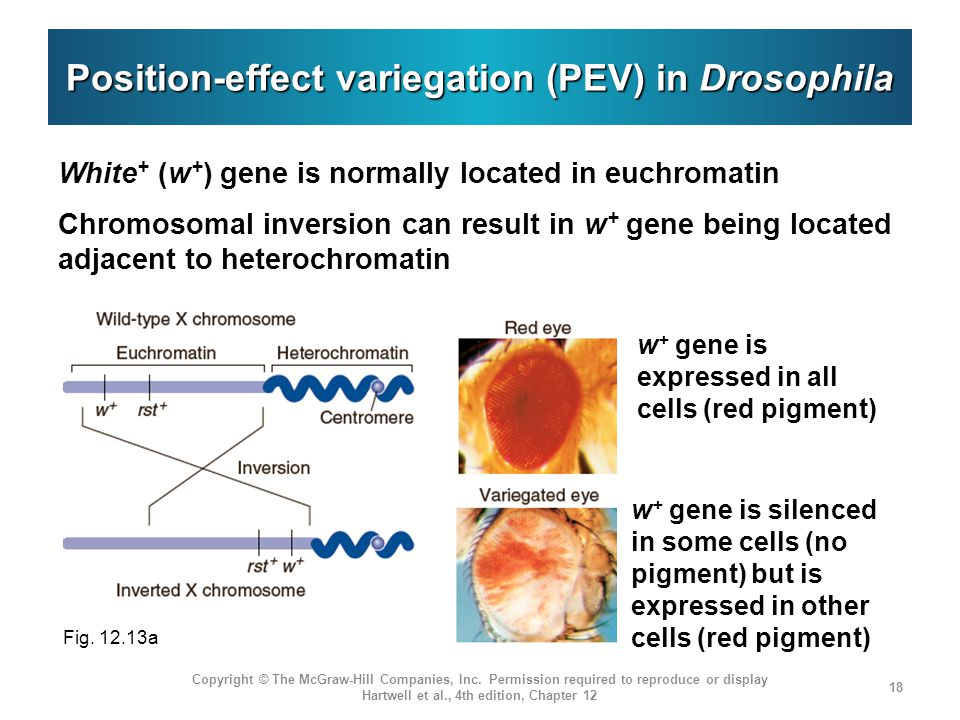Position-effect variegation (PEV) in Drosophila White + (w + ) gene is normally located in euchromatin Chromosomal inversion can result in w + gene be