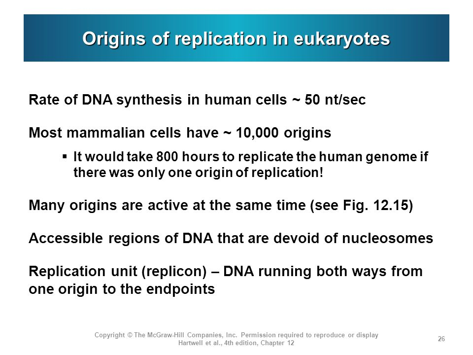 Origins of replication in eukaryotes Rate of DNA synthesis in human cells ~ 50 nt/sec Most mammalian cells have ~ 10,000 origins  It would take 800 hours to replicate the human genome if there was only one origin of replication.