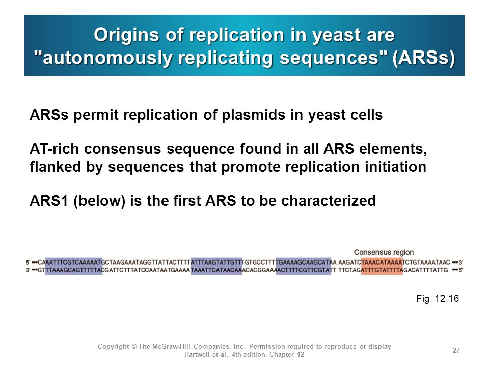Origins of replication in yeast are autonomously replicating sequences (ARSs) ARSs permit replication of plasmids in yeast cells AT-rich consensus sequence found in all ARS elements, flanked by sequences that promote replication initiation ARS1 (below) is the first ARS to be characterized Copyright © The McGraw-Hill Companies, Inc.
