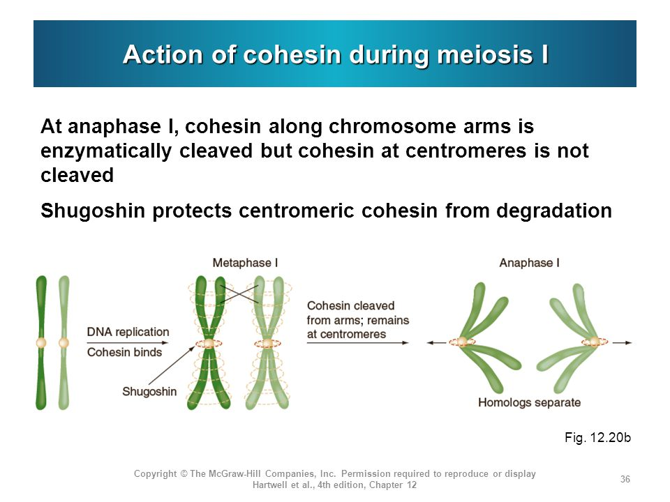 Action of cohesin during meiosis I At anaphase I, cohesin along chromosome arms is enzymatically cleaved but cohesin at centromeres is not cleaved Shugoshin protects centromeric cohesin from degradation Copyright © The McGraw-Hill Companies, Inc.