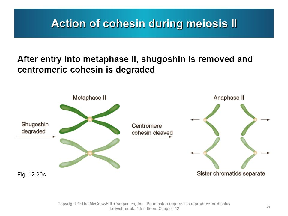 Action of cohesin during meiosis II After entry into metaphase II, shugoshin is removed and centromeric cohesin is degraded Copyright © The McGraw-Hill Companies, Inc.