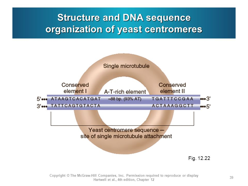 Structure and DNA sequence organization of yeast centromeres Copyright © The McGraw-Hill Companies, Inc. Permission required to reproduce or display H