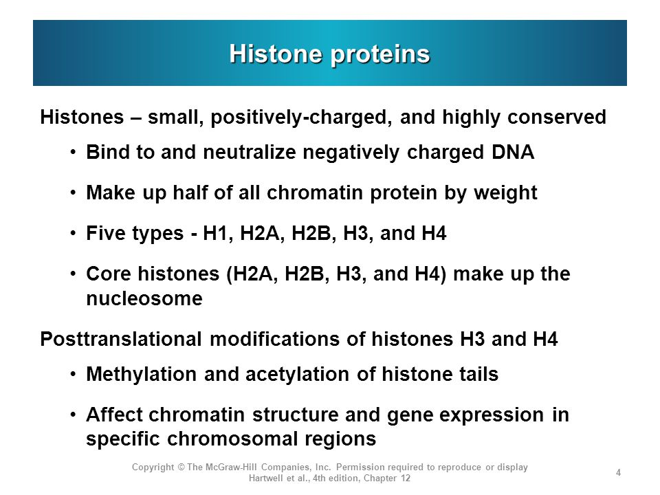 Histone proteins Histones – small, positively-charged, and highly conserved Bind to and neutralize negatively charged DNA Make up half of all chromati