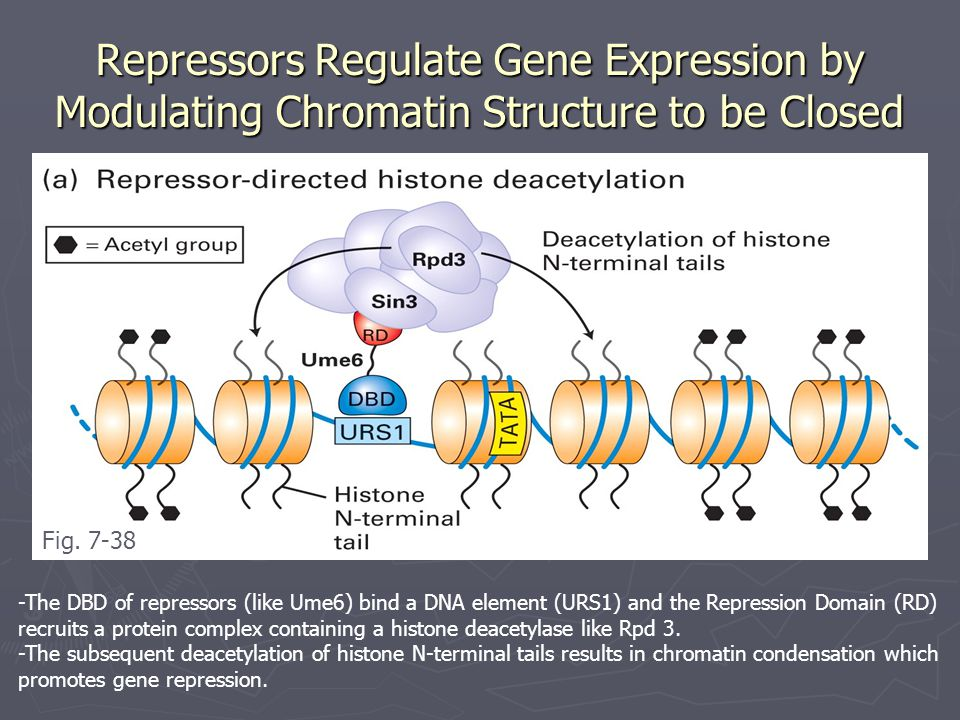 Repressors Regulate Gene Expression by Modulating Chromatin Structure to be Closed -The DBD of repressors (like Ume6) bind a DNA element (URS1) and the Repression Domain (RD) recruits a protein complex containing a histone deacetylase like Rpd 3.