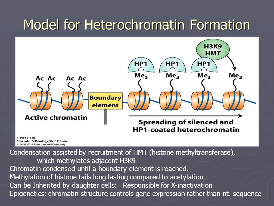Model for Heterochromatin Formation Condensation assisted by recruitment of HMT (histone methyltransferase), which methylates adjacent H3K9 Chromatin condensed until a boundary element is reached.