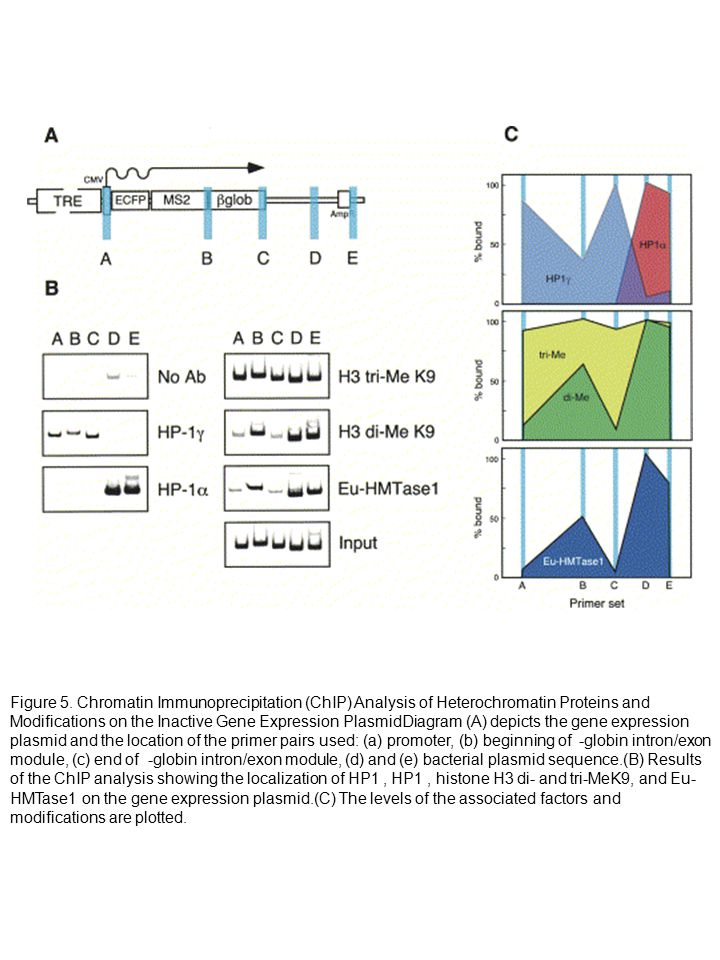 Figure 5. Chromatin Immunoprecipitation (ChIP) Analysis of Heterochromatin Proteins and Modifications on the Inactive Gene Expression PlasmidDiagram (
