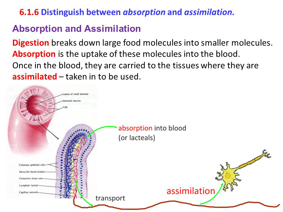 6.1.6 Distinguish between absorption and assimilation. Absorption and Assimilation Digestion breaks down large food molecules into smaller molecules.