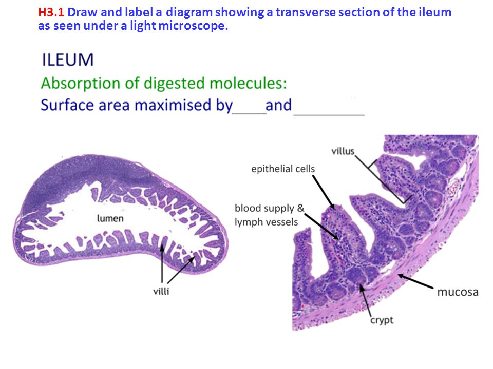 H3.1 Draw and label a diagram showing a transverse section of the ileum as seen under a light microscope.
