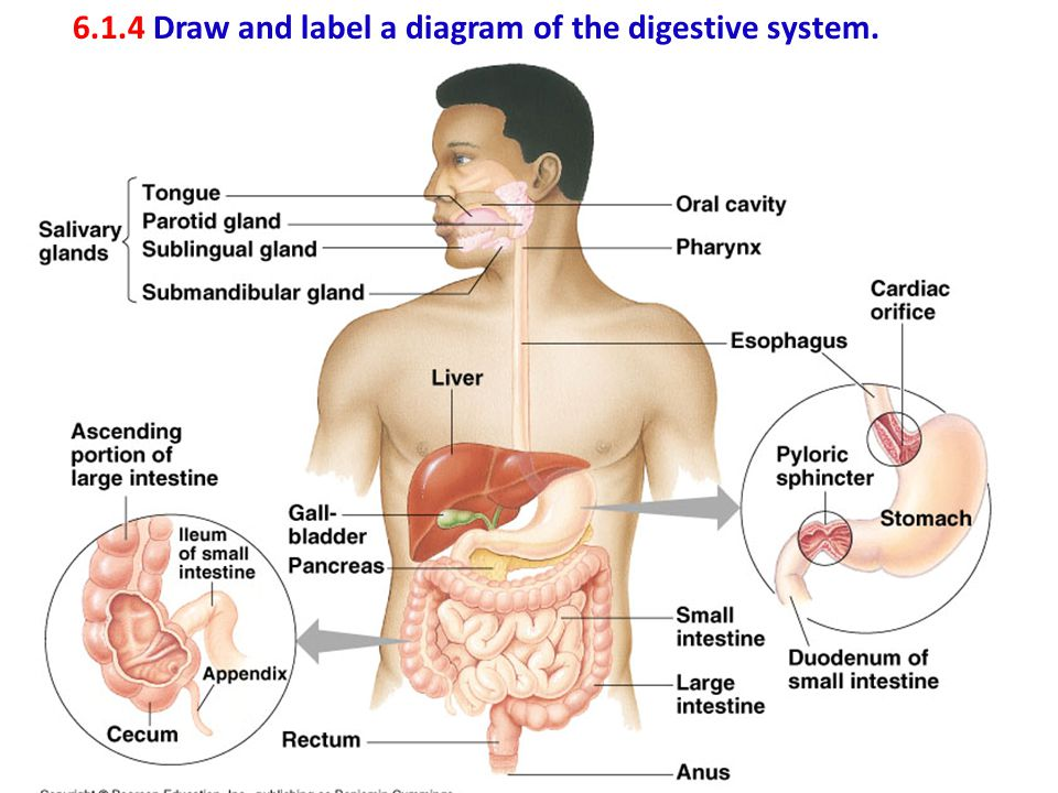 6.1.4 Draw and label a diagram of the digestive system.