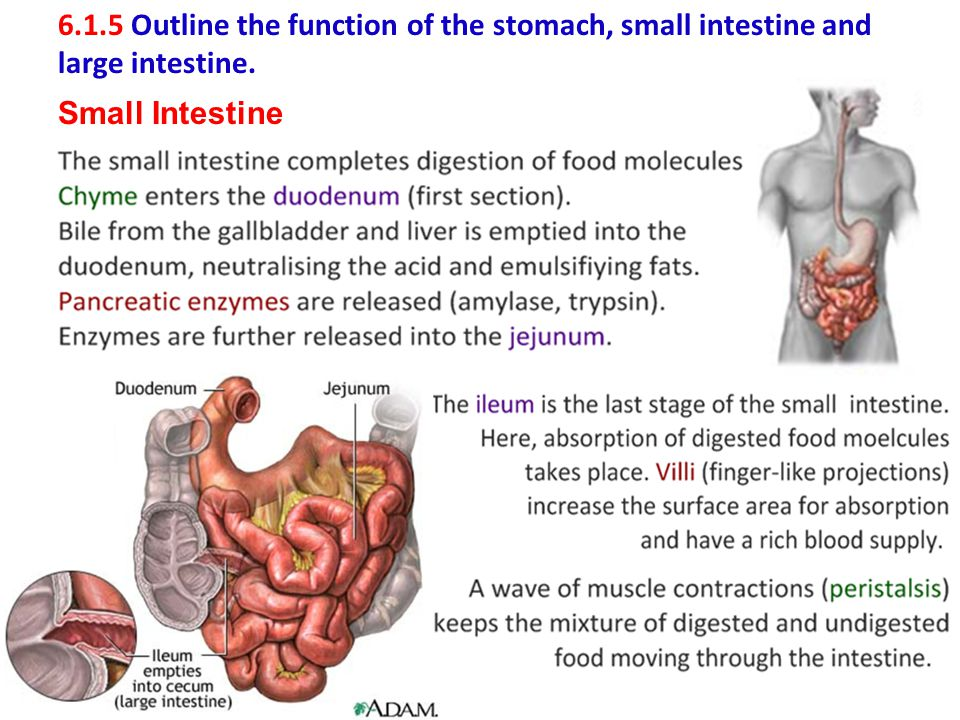 6.1.5 Outline the function of the stomach, small intestine and large intestine. Small Intestine