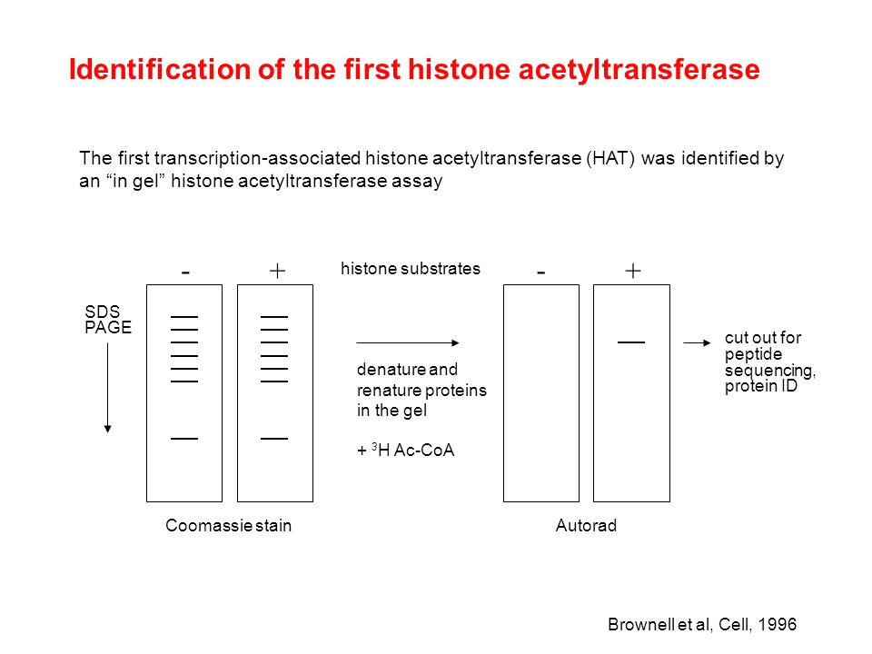 """Identification of the first histone acetyltransferase The first transcription-associated histone acetyltransferase (HAT) was identified by an """"in gel"""""""