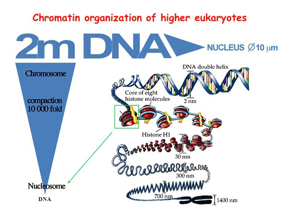 DNA Chromatin organization of higher eukaryotes