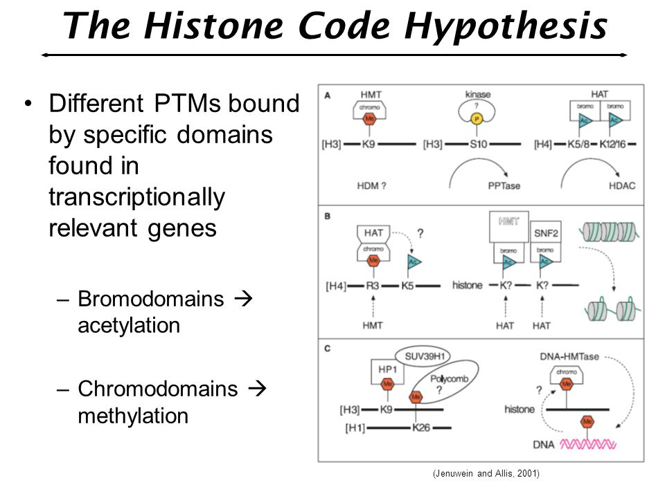 Different PTMs bound by specific domains found in transcriptionally relevant genes –Bromodomains  acetylation –Chromodomains  methylation The Histon