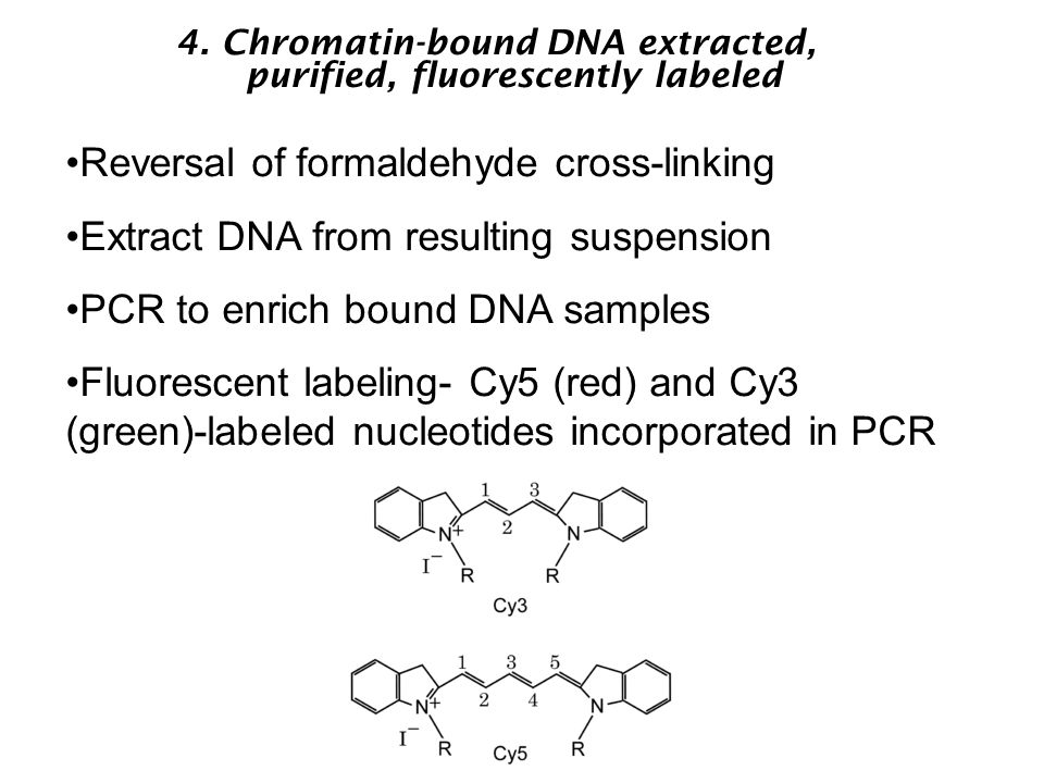 4. Chromatin-bound DNA extracted, purified, fluorescently labeled Reversal of formaldehyde cross-linking Extract DNA from resulting suspension PCR to