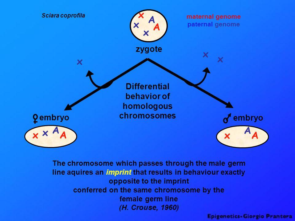 Position Effect Variegation (PEV) inversion White+ W m4 W-W- Y White+ pericentric heterochromatin Drosophila melanogaster X chromosome W+W+ W-W- W+W+ Y