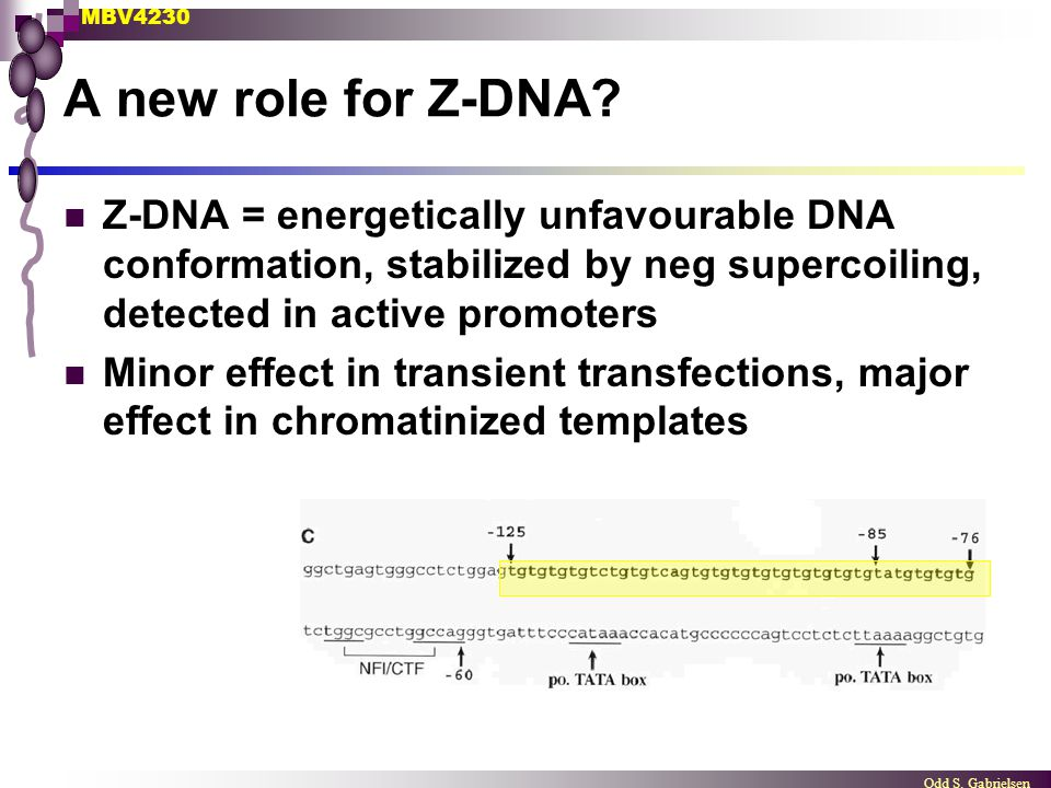 MBV4230 Odd S. Gabrielsen A new role for Z-DNA? Z-DNA = energetically unfavourable DNA conformation, stabilized by neg supercoiling, detected in activ