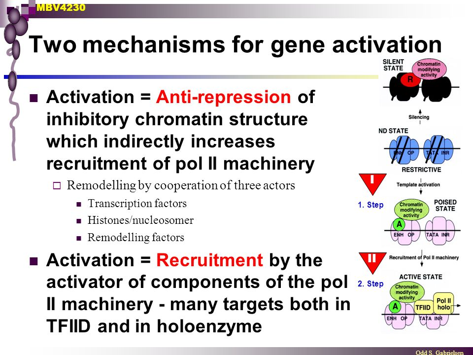 MBV4230 Odd S. Gabrielsen Two mechanisms for gene activation I 1. Step 2. Step Activation = Anti-repression of inhibitory chromatin structure which in