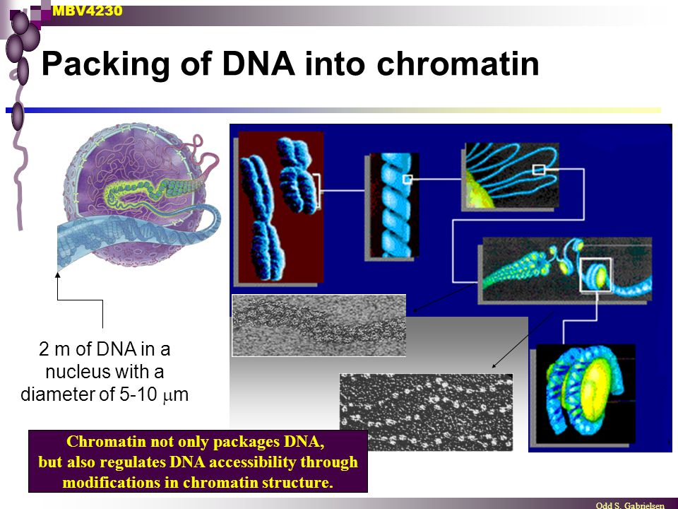 MBV4230 Odd S. Gabrielsen Packing of DNA into chromatin 2 m of DNA in a nucleus with a diameter of 5-10  m Chromatin not only packages DNA, but also