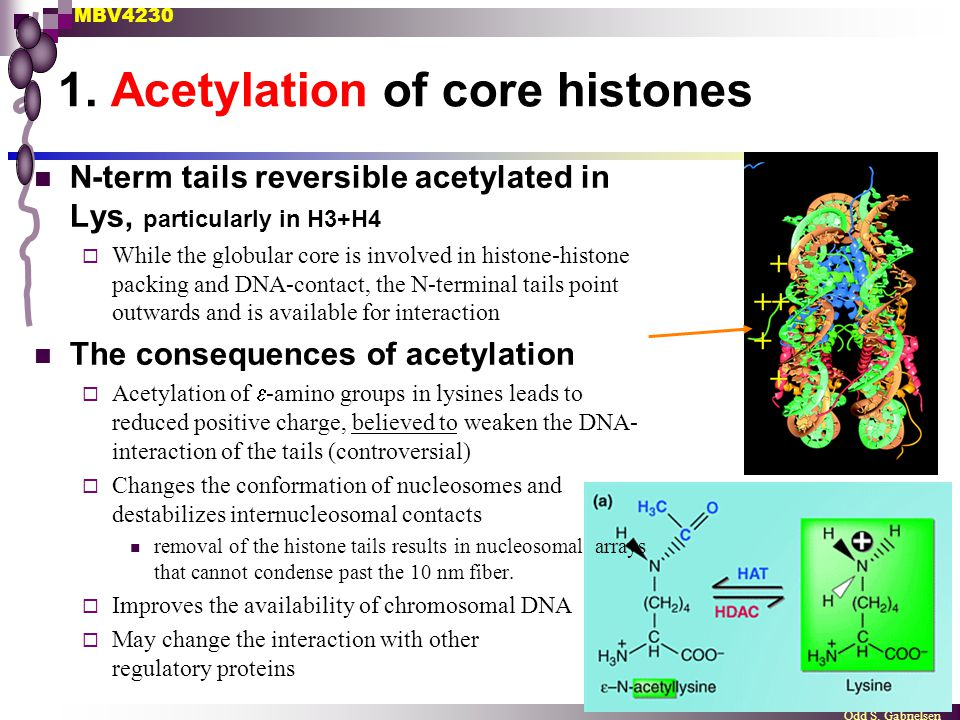 MBV4230 Odd S. Gabrielsen 1. Acetylation of core histones N-term tails reversible acetylated in Lys, particularly in H3+H4  While the globular core i