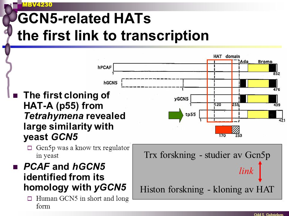 MBV4230 Odd S. Gabrielsen GCN5-related HATs the first link to transcription The first cloning of HAT-A (p55) from Tetrahymena revealed large similarit