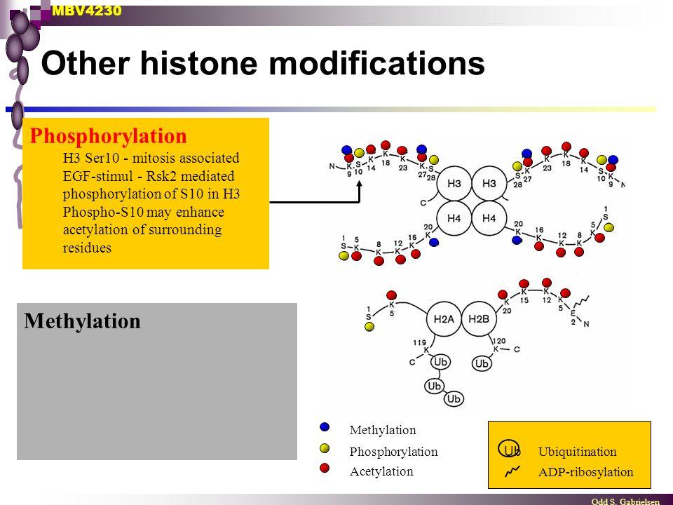 MBV4230 Odd S. Gabrielsen Other histone modifications Methylation UbiquitinationPhosphorylation Acetylation ADP-ribosylation Ub Phosphorylation H3 Ser