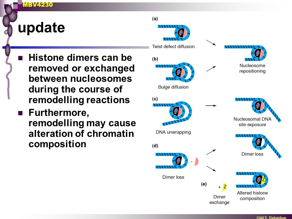 MBV4230 Odd S. Gabrielsen update Histone dimers can be removed or exchanged between nucleosomes during the course of remodelling reactions Furthermore