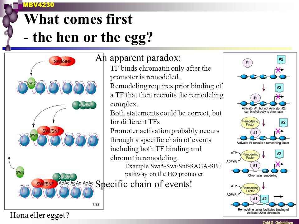 MBV4230 Odd S. Gabrielsen What comes first - the hen or the egg? An apparent paradox: TF binds chromatin only after the promoter is remodeled. Remodel
