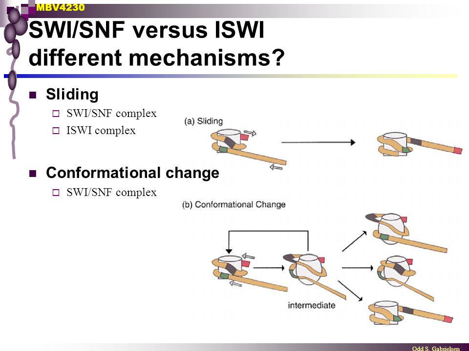 MBV4230 Odd S. Gabrielsen SWI/SNF versus ISWI different mechanisms? Sliding  SWI/SNF complex  ISWI complex Conformational change  SWI/SNF complex