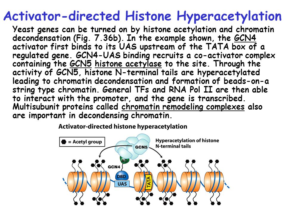 Activator-directed Histone Hyperacetylation Yeast genes can be turned on by histone acetylation and chromatin decondensation (Fig.