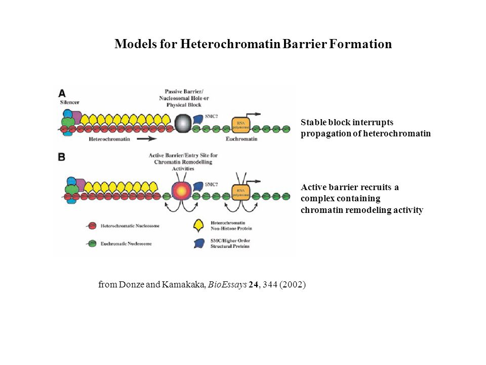 Models for Heterochromatin Barrier Formation from Donze and Kamakaka, BioEssays 24, 344 (2002) Stable block interrupts propagation of heterochromatin Active barrier recruits a complex containing chromatin remodeling activity