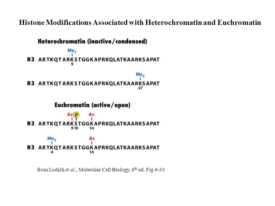 Histone Modifications Associated with Heterochromatin and Euchromatin from Lodish et al., Molecular Cell Biology, 6 th ed.