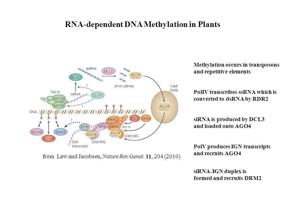 RNA-dependent DNA Methylation in Plants Methylation occurs in transposons and repetitive elements PolIV transcribes ssRNA which is converted to dsRNA by RDR2 siRNA is produced by DCL3 and loaded onto AGO4 PolV produces IGN transcripts and recruits AGO4 siRNA-IGN duplex is formed and recruits DRM2 from Law and Jacobsen, Nature Rev.Genet.