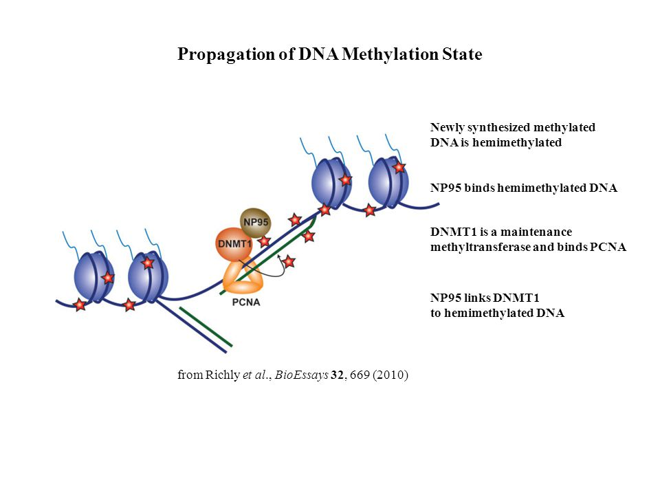 Propagation of DNA Methylation State Newly synthesized methylated DNA is hemimethylated NP95 links DNMT1 to hemimethylated DNA DNMT1 is a maintenance methyltransferase and binds PCNA NP95 binds hemimethylated DNA from Richly et al., BioEssays 32, 669 (2010)