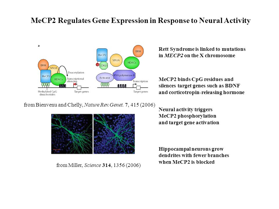 Rett Syndrome is linked to mutations in MECP2 on the X chromosome MeCP2 binds CpG residues and silences target genes such as BDNF and corticotropin-releasing hormone Neural activity triggers MeCP2 phosphorylation and target gene activation MeCP2 Regulates Gene Expression in Response to Neural Activity Hippocampal neurons grow dendrites with fewer branches when MeCP2 is blocked from Miller, Science 314, 1356 (2006) from Bienvenu and Chelly, Nature Rev.Genet.