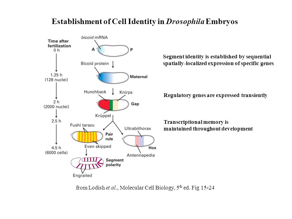 Establishment of Cell Identity in Drosophila Embryos from Lodish et al., Molecular Cell Biology, 5 th ed. Fig 15-24 Segment identity is established by